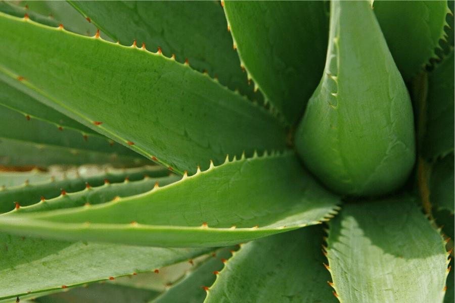 Aloe Vera: Benefici & Proprietà